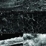 Imaginile SEM ale probelor de grafena redusa cu ajutorul laserului, care prezintă: A) strat de suprafață cu emergente conturate și o rețea de tip fagure extins; B) de rețea de tip fagure de 1 μm sub stratul de suprafață; și C) secțiuni transversale cu foi de grafena cu creștere perpendiculara pe suprafață, formând o rețea celulară extinsă.